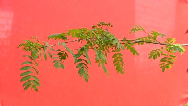 Berkenye-fa, Rowan Branch, zöld levelek, imbolygott a szél, a piros háttér, Chromakey, chroma key, alfa