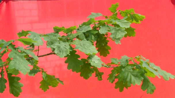 Oak Branch With Green Leaves, Swaying Branch, Fluttering Leaves, Branches, Stalks, Leaves on the red background, Chromakey, Chroma Key, Alfa