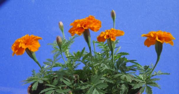 Tagetes, Bush of Orange Flowers, Green Leaves, on Blue Background, Chromakey, Chroma Key, Alfa