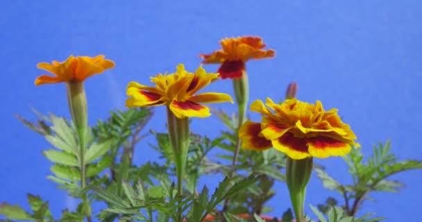 Tagetes, sárga virágok, zöld levelek, csapkodott virágok, a kék háttér, Chromakey, chroma key, alfa