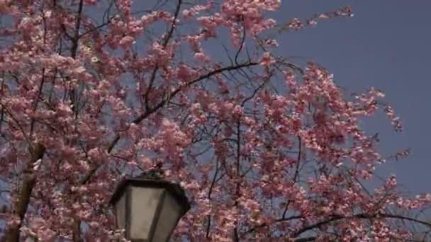Cherry Sakura Chromakey Bellová věž Kievo-Pecherskaja Lavra kvetoucí Růžové květiny větvičky třešňového květu Sakura klíček modrá barva pozadí