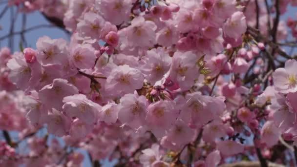 Cherry Sakura uzavření Chromakey květinový květ Růžové květiny větve třešňového květu kvetoucí Saura chroma klíč alfa modrá pozadí