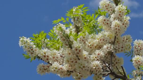 Inflorescences Of Acacia Senegalia Greggii Thorntree Whistling Thorn Wattle Kiev Botanical Garden In The Spring Kiev Ukraine Sunny May Day Outdoors