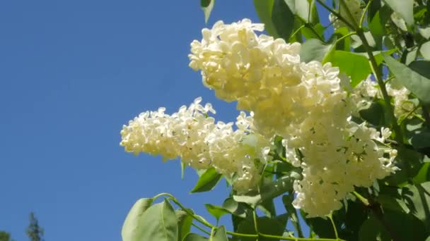 White Blossoming Lilac For Chromakey Branches Blooming Lilac Chroma Key Alfa Blue Background Syringa Vulgaris Botanical Garden Spring Sunny May Day