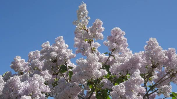 Violet Blossoming Lilac For Chromakey Branches Blooming Lilac Chroma Key Alfa Blue Background Syringa Vulgaris Botanical Garden Spring Sunny May Day