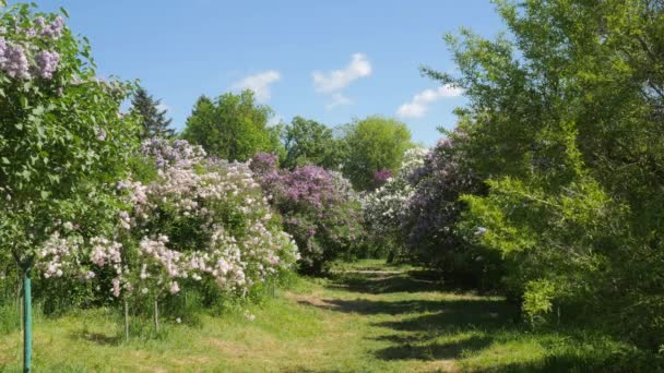 Landscape Alley Blooming Lilac Syringa Footpath Between the Trees Vulgaris Kiev Botanical Garden In The Spring Kiev Ukraine Sunny May Day Outdoors