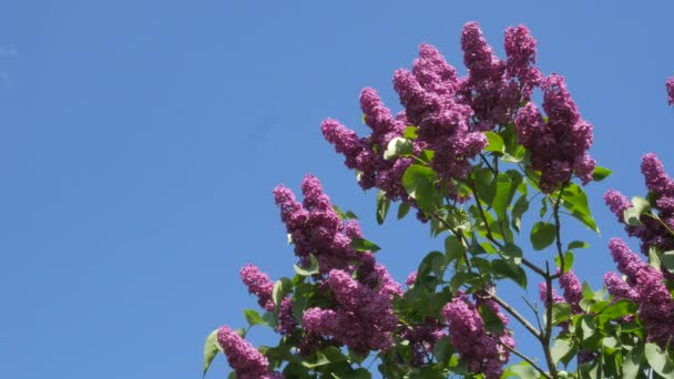 Branches Chromakey Blossoming Lilac For Chroma Key Alfa Blue Background Blooming Lilac Syringa Vulgaris Kiev Botanical Garden In The Spring Sunny May