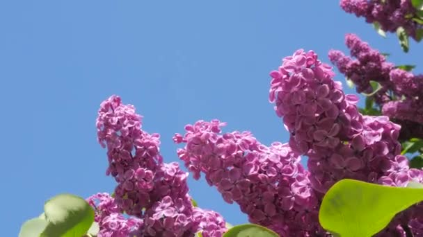Branches Chromakey Blossoming Lilac For Chroma Key Alfa Blue Background Blooming Lilac Syringa Vulgaris Kiev Botanical Garden Spring Sunny May Day
