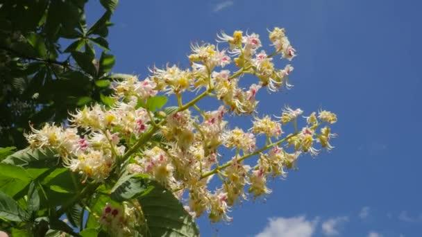 Kaštanový strom Chromakey kvetoucí kaštan kymácející větve Chroma klíč Alfa modré pozadí květenství Sunny větve z kaštan s květinami