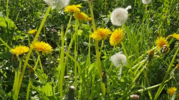 Sárga fehér virágok Blowball pitypang virág Zöld szárat napos zöld levelek gyerekjáték keresztül zöld fű napos csapkodott virágok