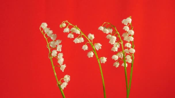 May-Lily Chromakey Lily of The Valley White Flowers Chroma Key Alfa Red Screen Four Stalks with Flowers Swaying Stalks Outdoors Studio Sunny Day