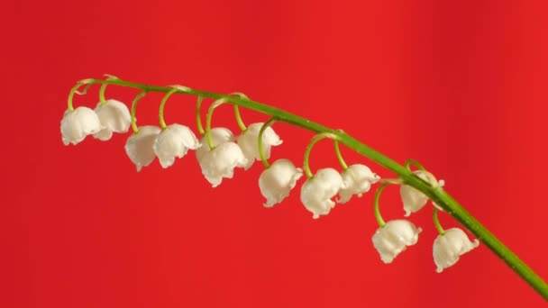 May-Lily Chromakey Lily of The Valley Blossom White Flowers Chroma Key Alfa Red Screen One Stalk with Flowers Swaying Stalk Outdoors Studio Sunny Day