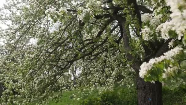 hruška větve pokryté bílými květy kymácí ve větru