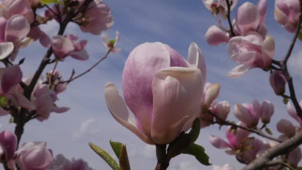 Růžový Magnolia květinu okvětní lístky z vítr třese jarní den v parku proti obloze