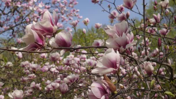 Tenké větve z Magnolia květiny kymácí ve větru strom květy na jaře parku