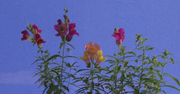 4 fiori di Antirrhinum Rosa su sfondo blu sugli steli verdi