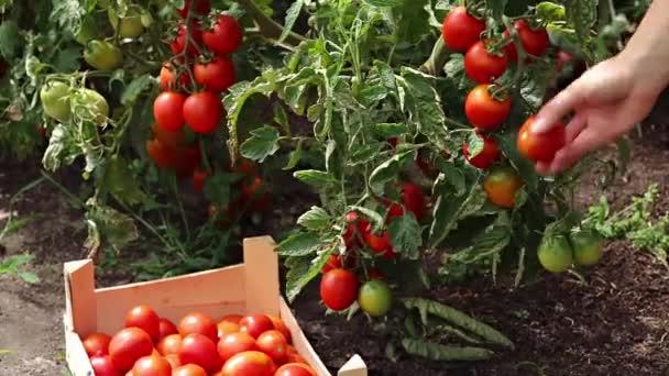 Farmář ručně vychystávání zralých rajčat od Bushe