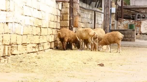 Muslimové pomoci v halal porážka ovcí