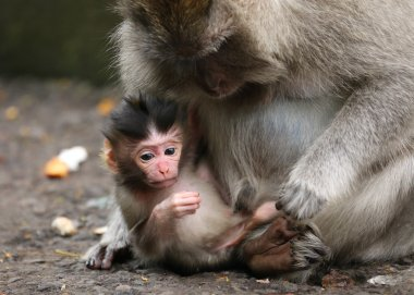 Close-up of small monkey and his mother