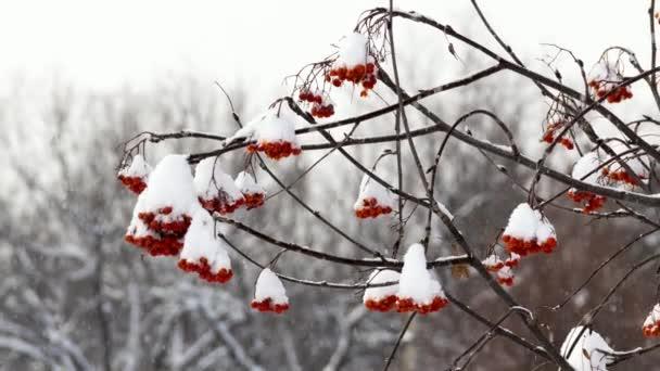 Iris pod sněhem