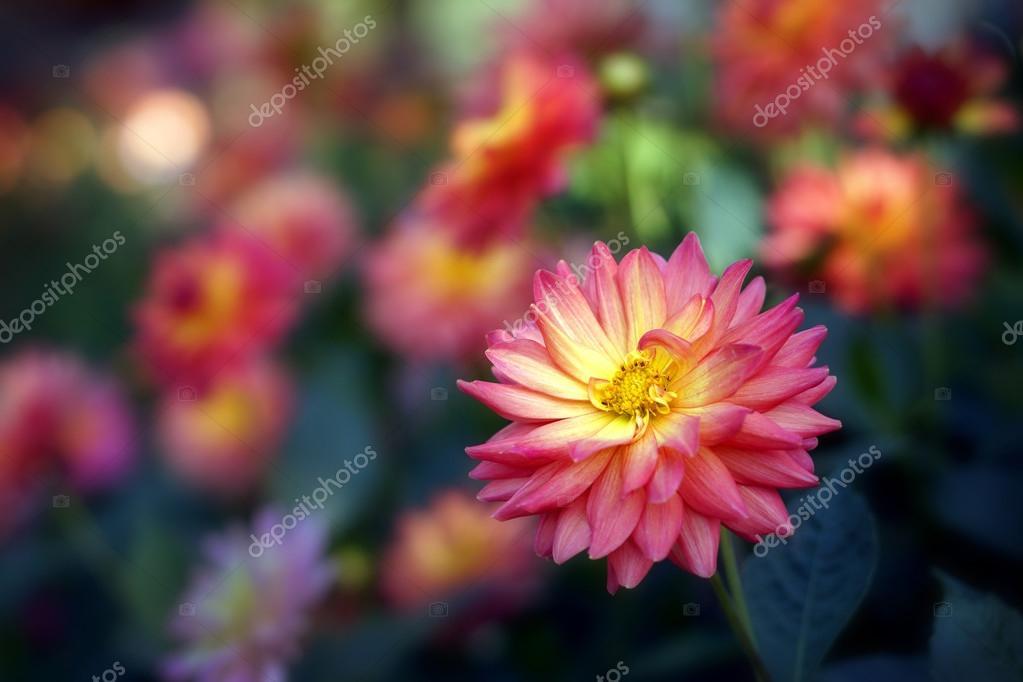 Fleur de chrysanthème coloré beau jardin, Chiang Mai, T ...