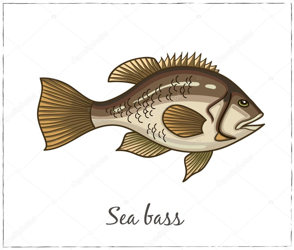 Sea bass. Fish collection. Vector illustration