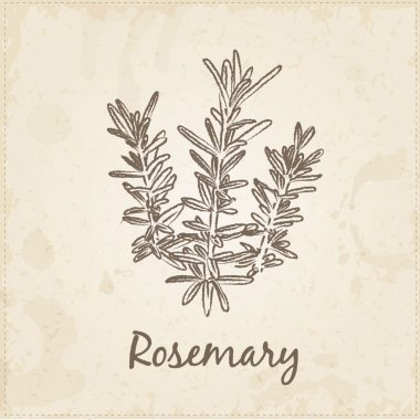 Kitchen hand-drawn herbs and spices, Rosemary.