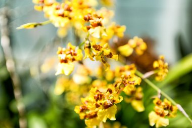 Bright yellow Oncidium orchid at San Francisco Conservatory of Flowers.