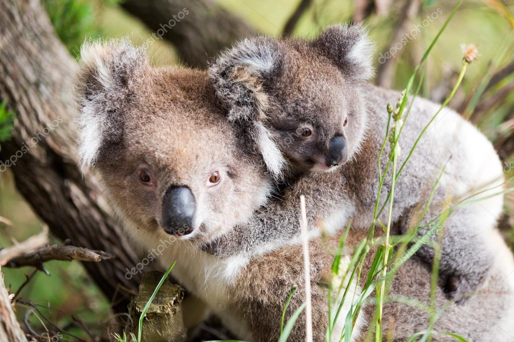 Australia Baby Koala Bear and mom at the bottom of a tree.