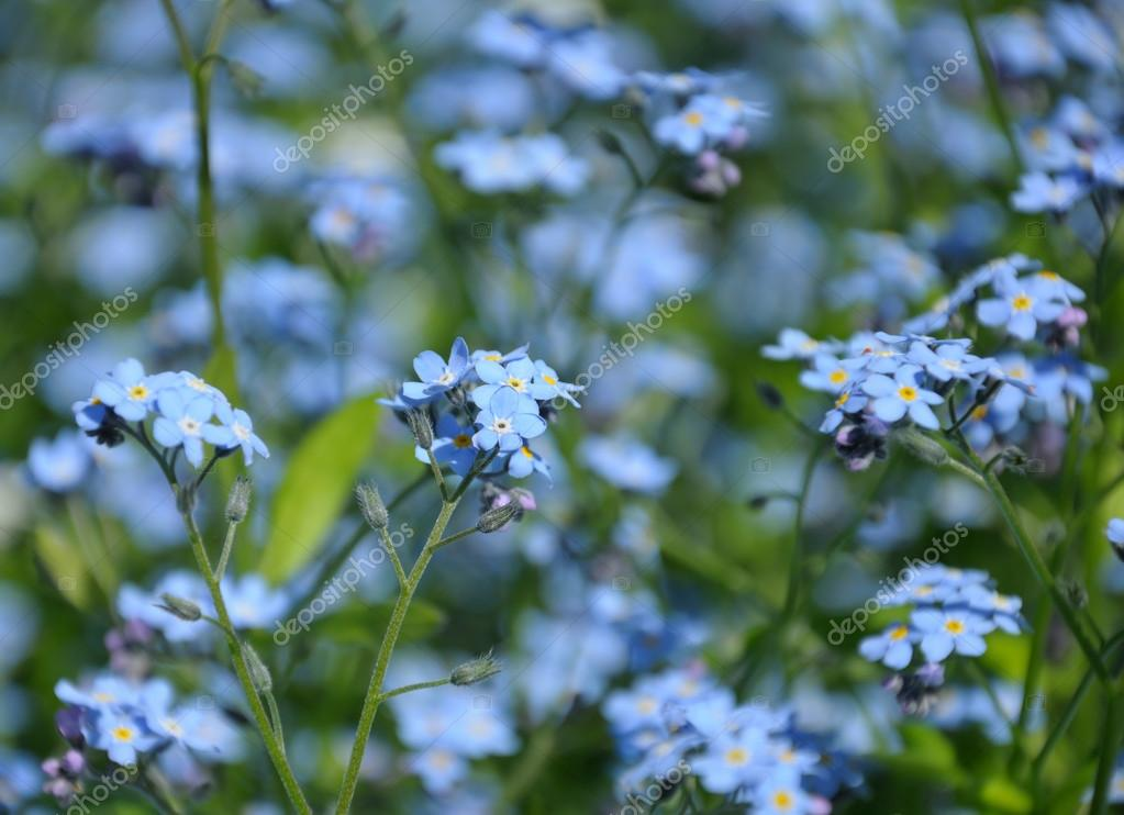 Close Up View Of Small Blue Spring Flowers Stock Photo Serg269