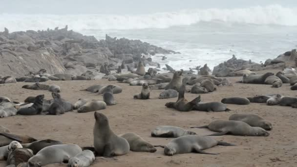 One of the largest colonies of fur seals in the world