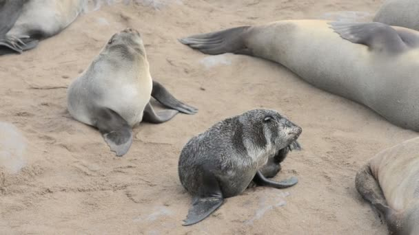 Two funny fur seals on a sand beach