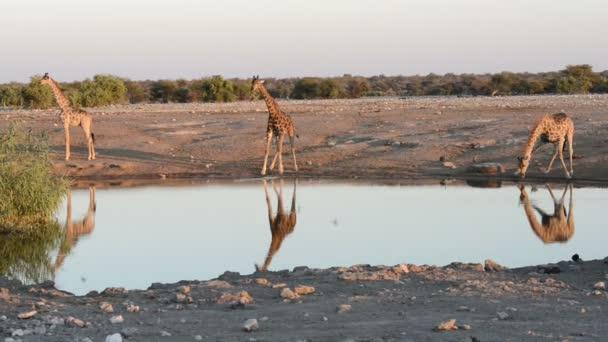 Die Giraffengruppe trinkt auf lustige Weise Wasser am Wasserloch