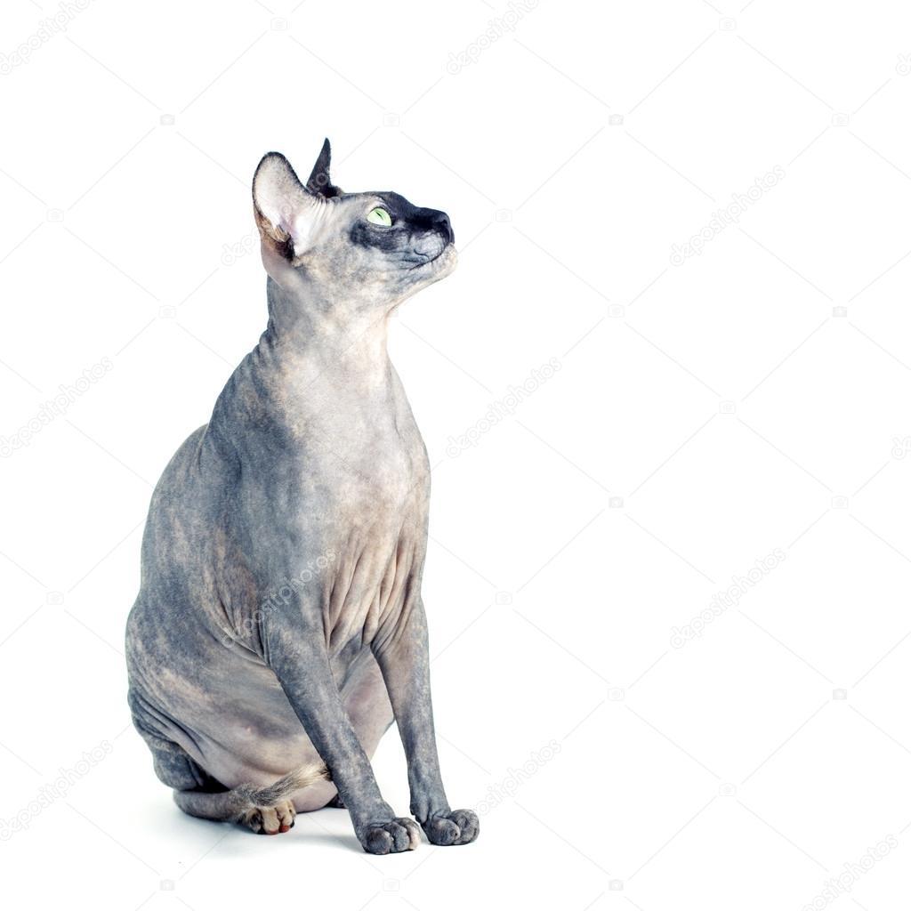 Czarny Lub Niebieski Canadian Sphynx Kot Z Zielonymi Oczami Na