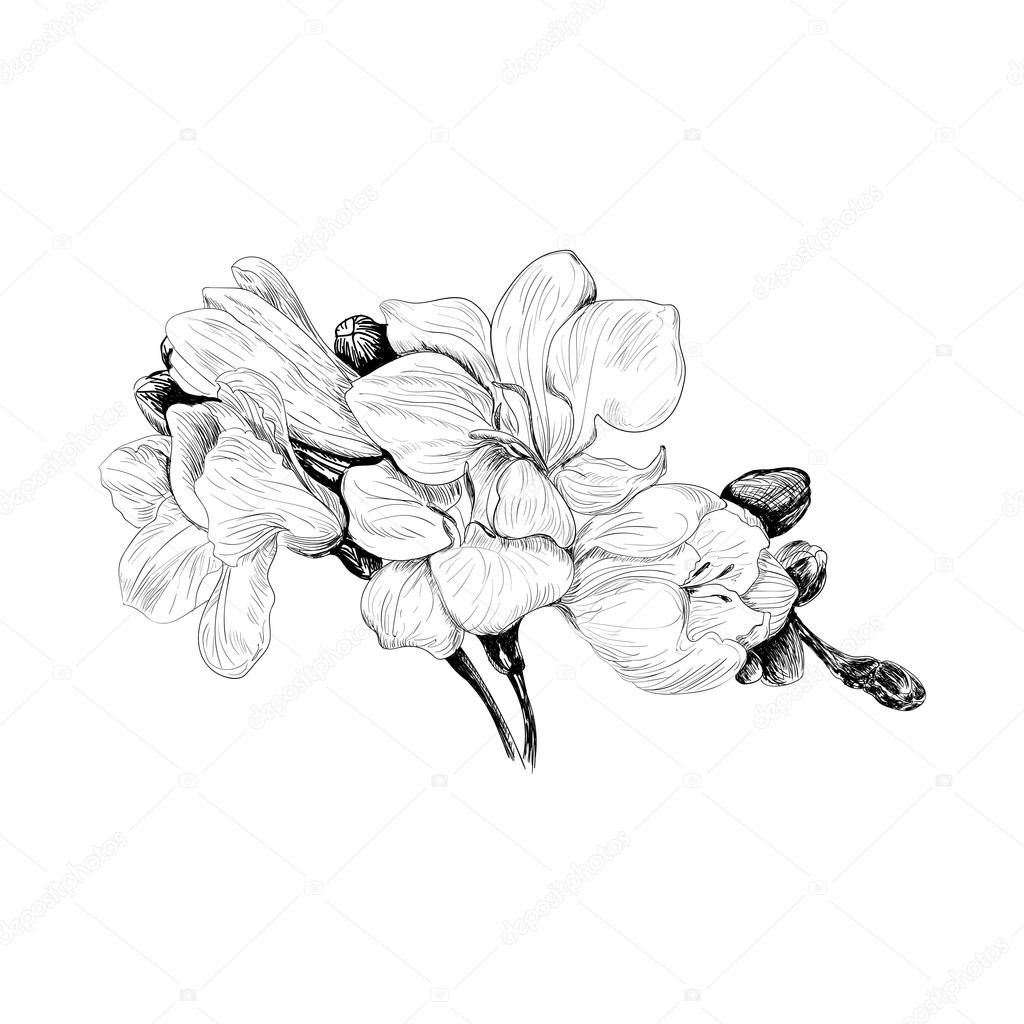 freesia flower sketch