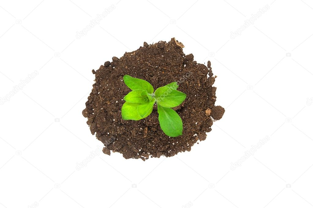 Ecology concept. Rising sprout from handful of ground and symbolizes the struggle for a new life. Isolated on white background.