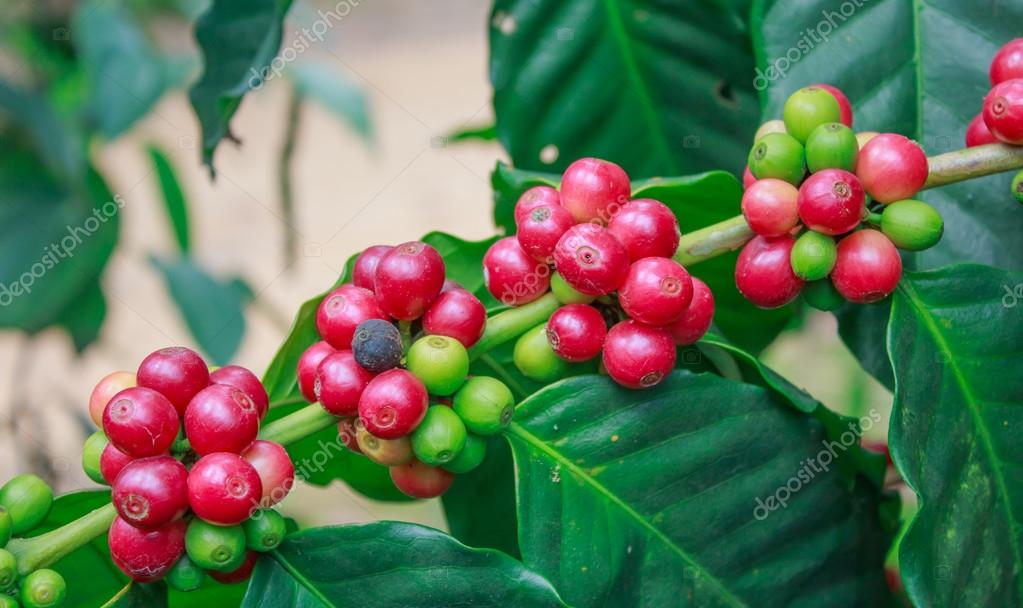 coffee on tree