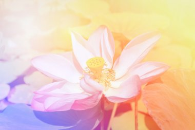 Beautiful pink lotus flower by pastel background.