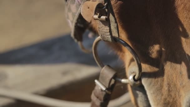It is breathing nose and mouth of brown horse  standing outside with harness and bridle.