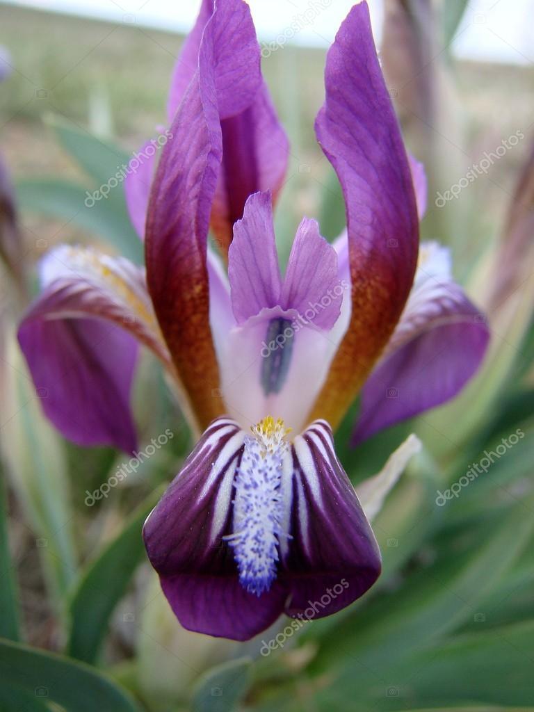 The Amazing Wonder Of Nature Iris Flower Stock Photo Fengmolong