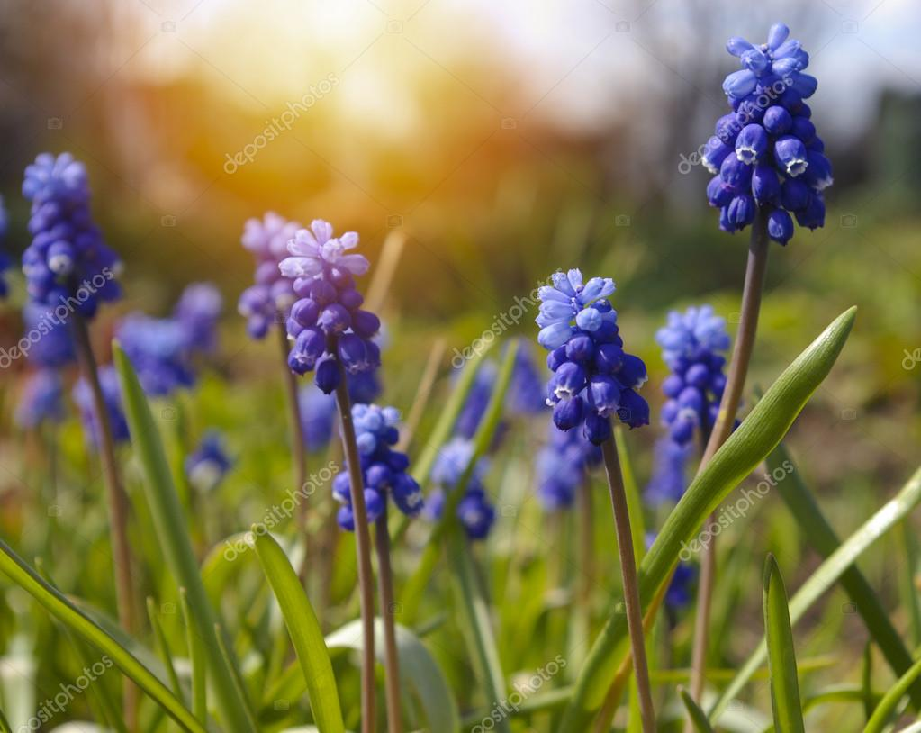Blue spring flowers grape hyacinth on sunset background stock blue spring flowers grape hyacinth on sunset background photo by evbuhyahoo mightylinksfo
