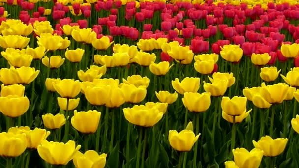 Background of Tulips