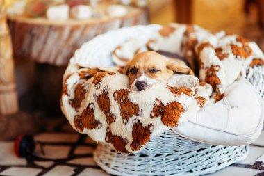 Beautiful beagle puppy