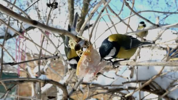 Hungry birds, Great tit or parus major, are pecking lard which hangs from branch in garden or backyard. Feeding birds on wintertime. Close-up.