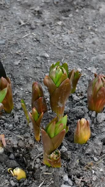 Gardener hands digging with shovel around Crown imperial or fritillaria imperialis flower which growing in garden. Soil treatment. Home gardening concept. Care of plants. Vertical video.