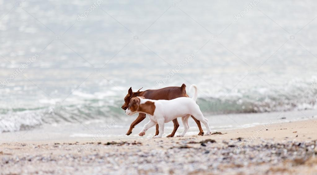 Dogs playing on the beach