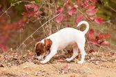 Fotografie Jack Russell Terrier