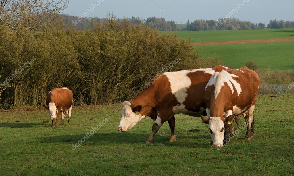 three cow on pasture in front of the bushes