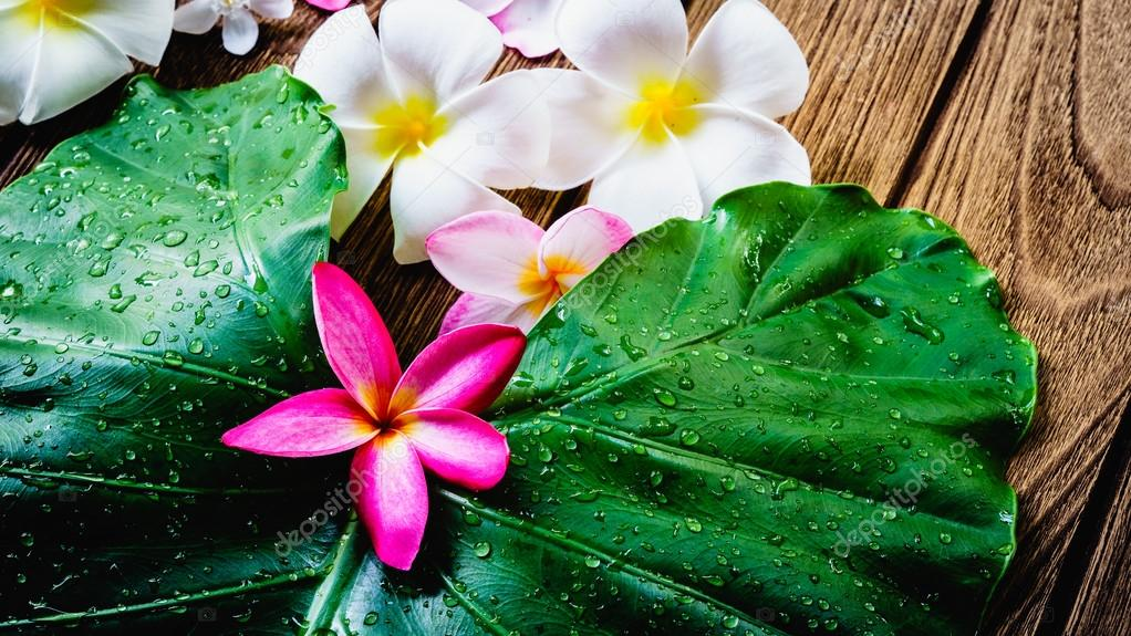 Frangipani or Plumeria flower beautiful colors with fresh green