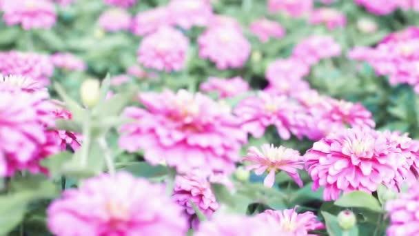 Posunout ostření záběru růžových květin v poli. Růžové květy na farmě. Léto, podzim, podzim, přírodní záběry pozadí. Zblízka Marigold Flower květ kvete v botanické zahradě.